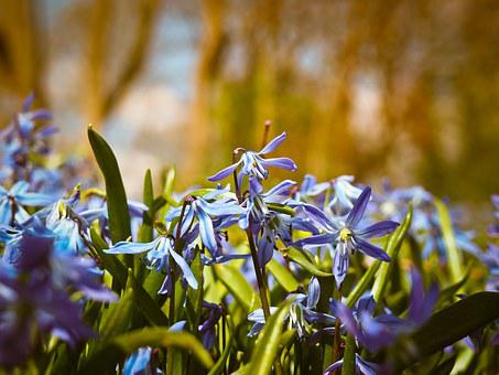 ブルーベル, 花, 青, 蝶蘭, スペイン語 Hasenglöckchen