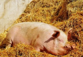 Pig, Good Aiderbichl, Sanctuary, Animal, Relaxed