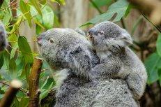 Femelle Koala Et Son Bébé