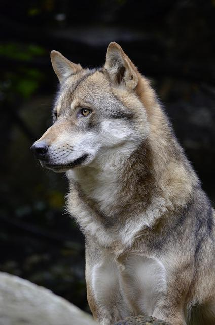 Free Photo Wolf Face Fur Close Wild Animal Free