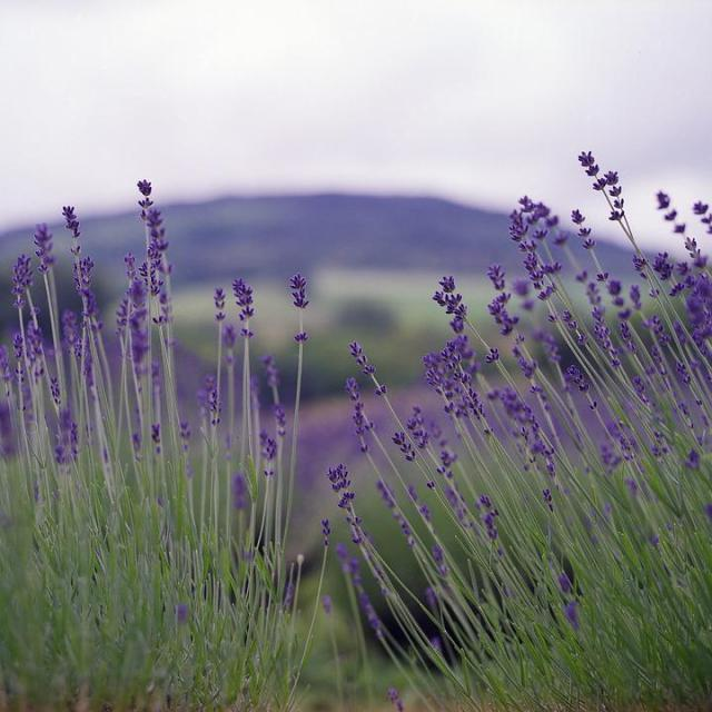 Lavender, Nature, Summer, Flower, Natural, Fragrance