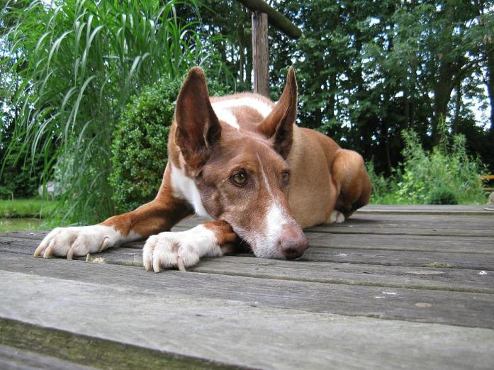 Podenco, Dog, Quadruped, Pet, Animal Portrait