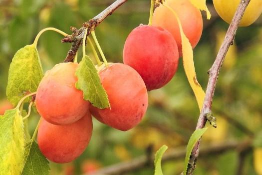 Prugne Gialle, Cherry Plum, Frutta, Ramo, Frutteto