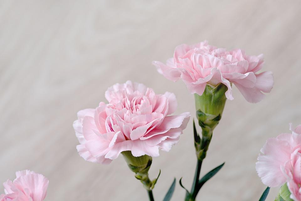 クローブ, 花, ピンク, カーネーションのピンク, ピンクの花, 花びら, Schnittblume