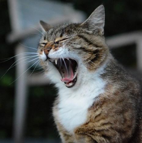 Gatto, Animale, Gatti, Pet, Mammifero, Sbadiglio