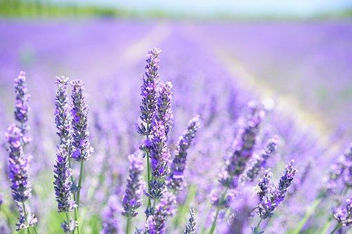 Lavande, Fleurs, Sur Le Terrain, Bloom