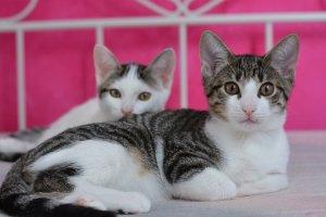 猫, 子猫, アディダス, サバ, 国内の猫, ペット, 若い猫, 猫の肖像画