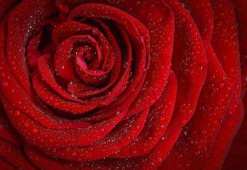 ローズ, 赤, 花, 自然, 庭, マクロ, 植物, 花びら, 情熱, 露