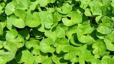 พืช, สมุนไพร, ยา, บัวบก, Coinwort
