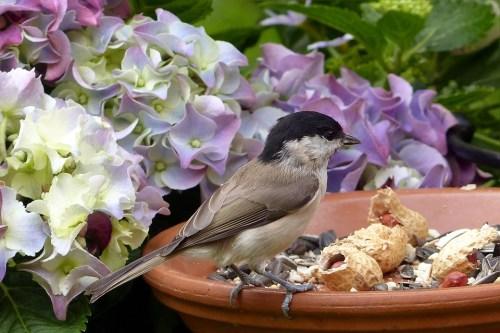 Bird, Mésange Nonnette, Palustris Parus