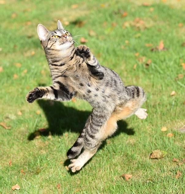 Cat, Play, Catch, Mackerel, Domestic Cat, Grass