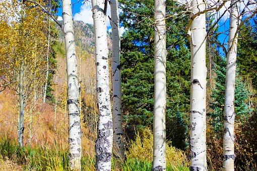 Aspen trees, Color, Autumn, Fall, Landscape