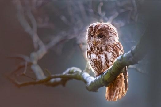 Gufo, Uccello, Predator, Ramo, Natura