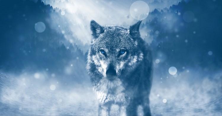 Wolf, Predator, Animal, Fleichfresser, Winter