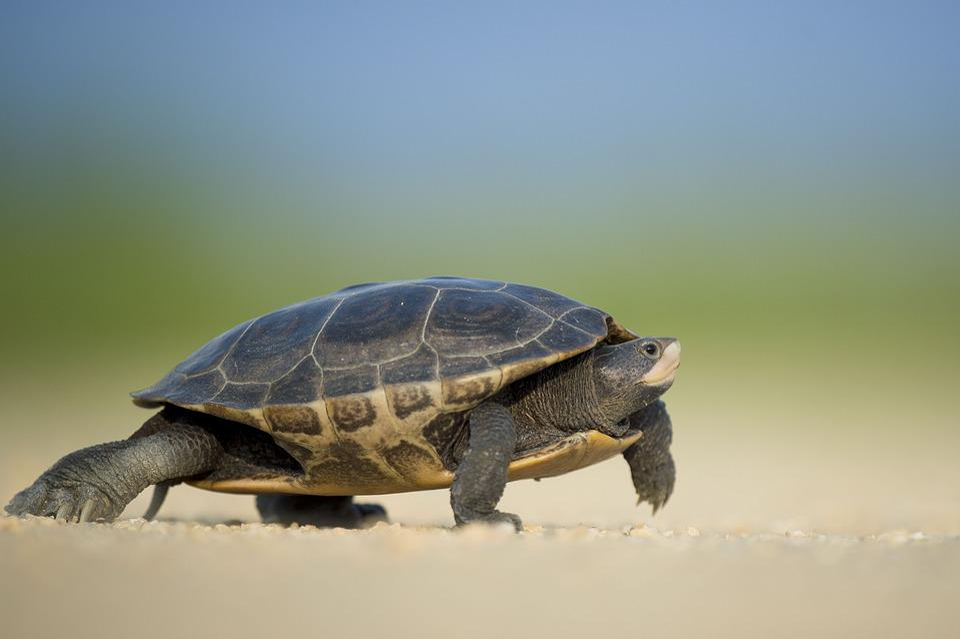 Amphibian, Turtle, Animal, Armor, Blur, Close-Up
