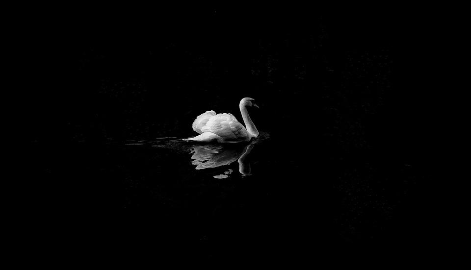 Foto de un cisne sobre un fondo negro con el reflejo del cisne sobre el agua  https://pixabay.com/es/photos/swan-ave-animales-lago-reflexi%C3%B3n-1868697/  https://pixabay.com/es/users/pexels-2286921/