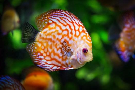 Pesce Discus, Di Pesce, Fauna