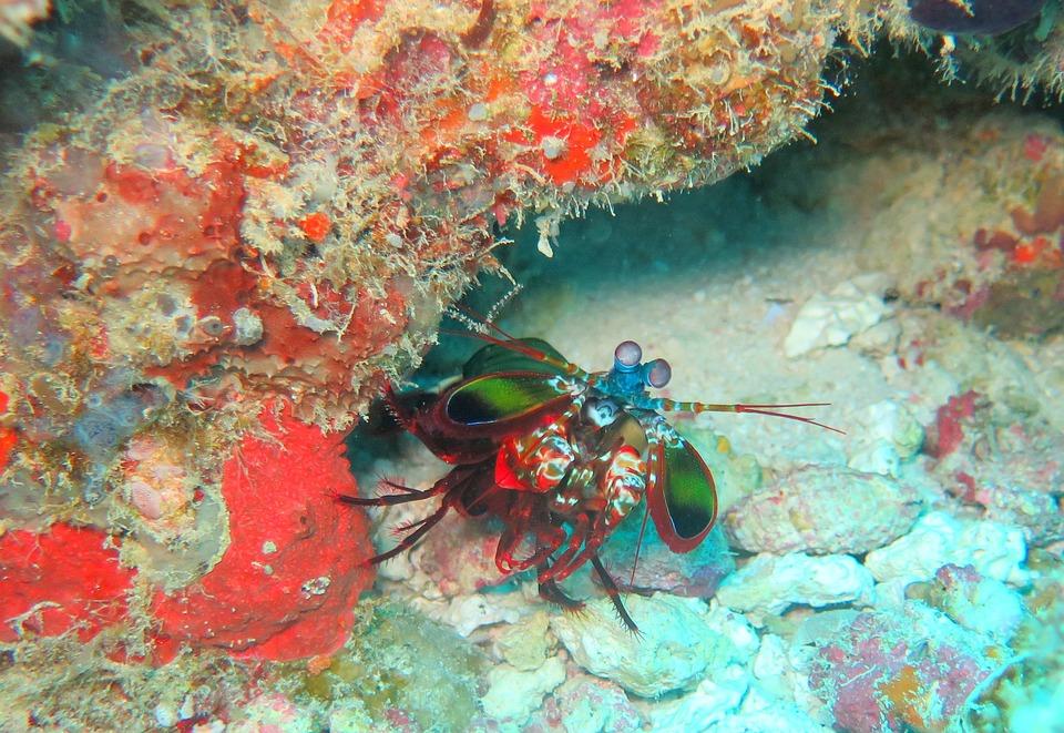 Mantis, Shrimp, Sea, Prawn, Crustacean, Marine, Fish