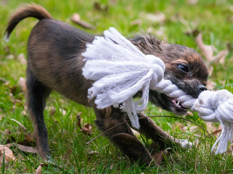 Image result for fun game with chihuahua