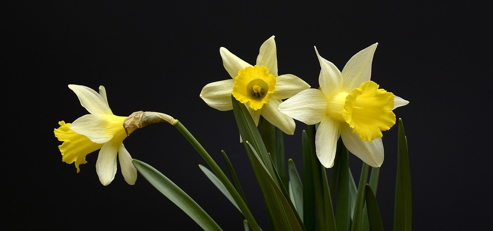 Daffodils Flowers Yellow      Free photo on Pixabay daffodils flowers yellow spring daffodil