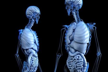 解剖学, 体, 腸, 健康, 人間, 医療, 医学, 腹部, コロン, 消化, 消化器系, 骨, 胸