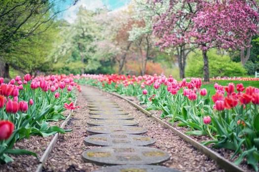 Sentiero, Percorso, Tulipani Rosa, Tulipani, Primavera