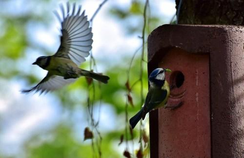 Bleue, Oiseaux, Nichoir, Bird, Mésange, Jardin