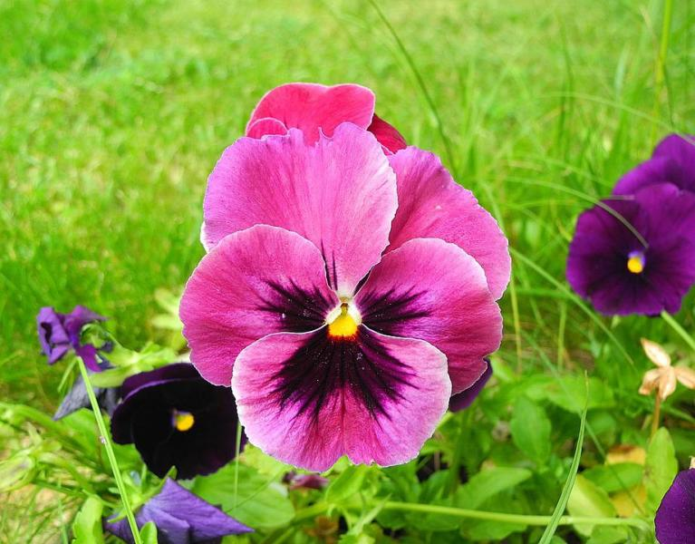 Pansy Images      Pixabay      Download Free Pictures Pansy  Flower  Flower Garden  Garden