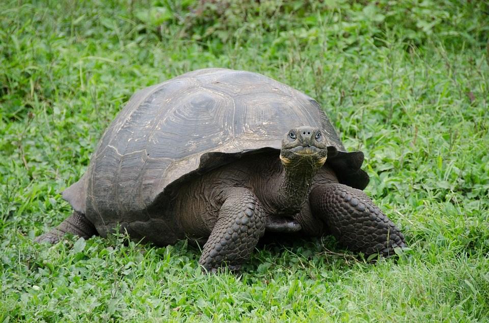 Galapagos Islands, Galapagos Tortoise, Galapagos