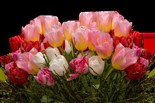 Tulips, Nature, Flowers, Tulpenzwiebel