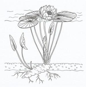 Free illustration: Lotus, Diagram, Water Lily, Plant  Free Image on Pixabay  2409575