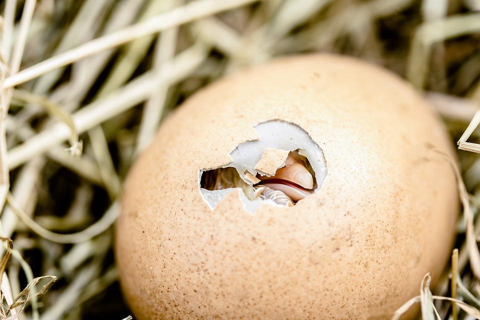 雛の孵化, 卵の殻を破, ビル, 卵, 家禽, 孵化, 鶏肉, 自然, 干し草, ハードシェル, 皮膚, 誕生