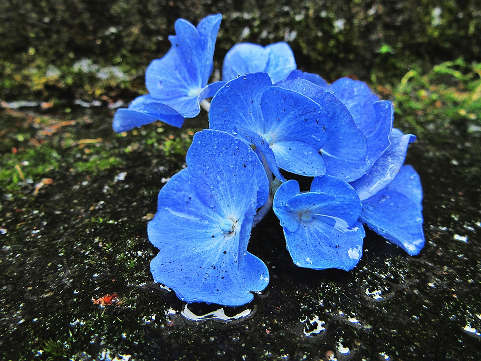 Flores Hortensias Azules Como Cultivar Hortensias Azules