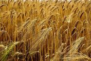 Cereals, Field, Barley,