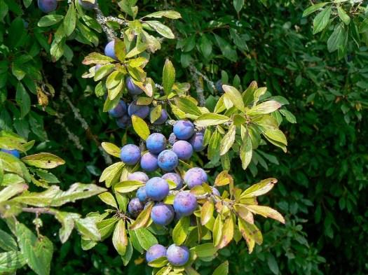 Frutta, Mirtillo, Mirtillo Nero, Mirtilli, Forest, Bush
