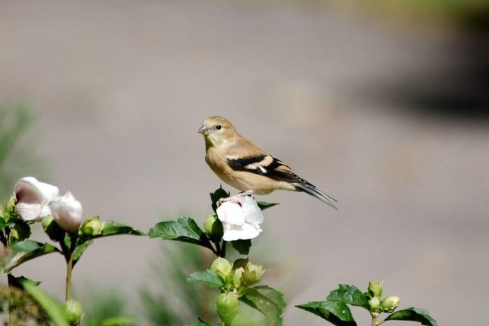 Goldfinch, Female, Bird, Avian, Wildlife, Finch
