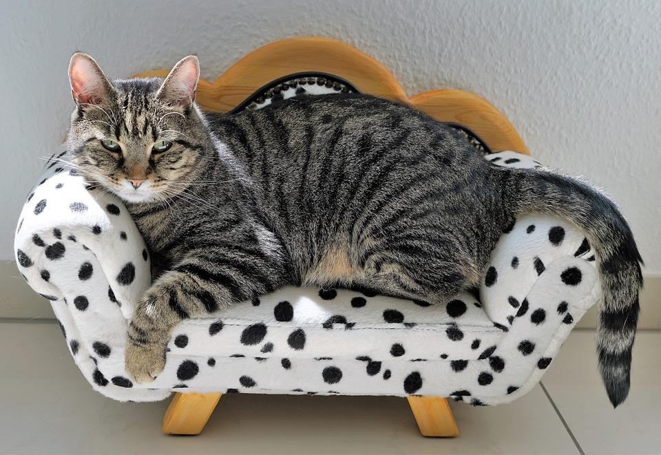 猫, タイガー, ソファ, 匹わんちゃん, 犬, 家具, バーンアウト, 動物, 大きな猫, 捕食者, ネコ