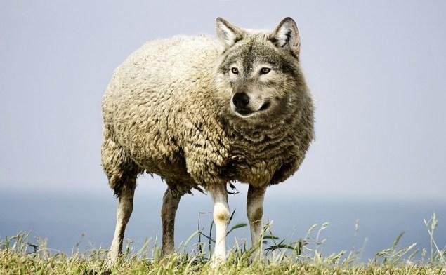 Волк В Овечьей Шкуре, Волк, Овец, Овчина, Шерсть, Риск