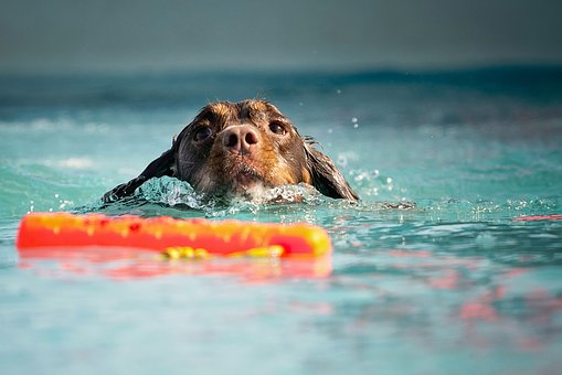 Dog, Swim, Water, Wet Dog, Spaniel