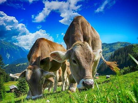 safe handling livestock