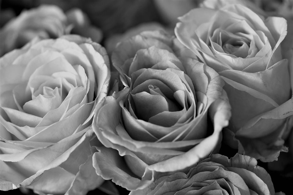 Roses Flowers Black And White      Free photo on Pixabay roses flowers black and white nature rose blooms