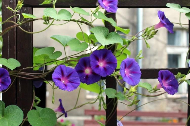Powój, Pnącze, Fioletowy Kwiat, Kwitnący, Liście