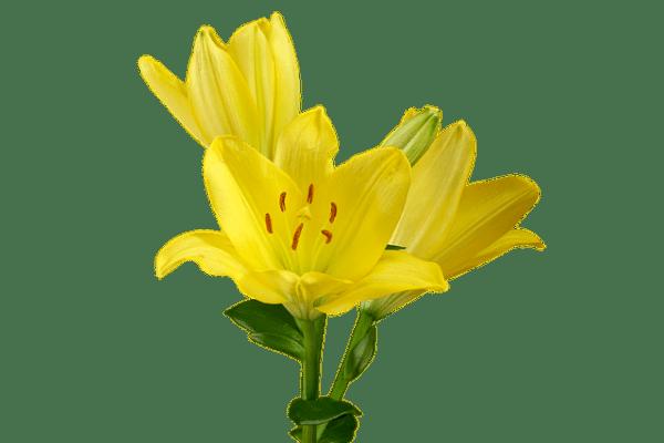 Lily Flower Blossom 183 Free photo on Pixabay