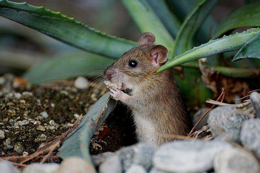 Mouse, Nager, Animal, Cute, Rodent