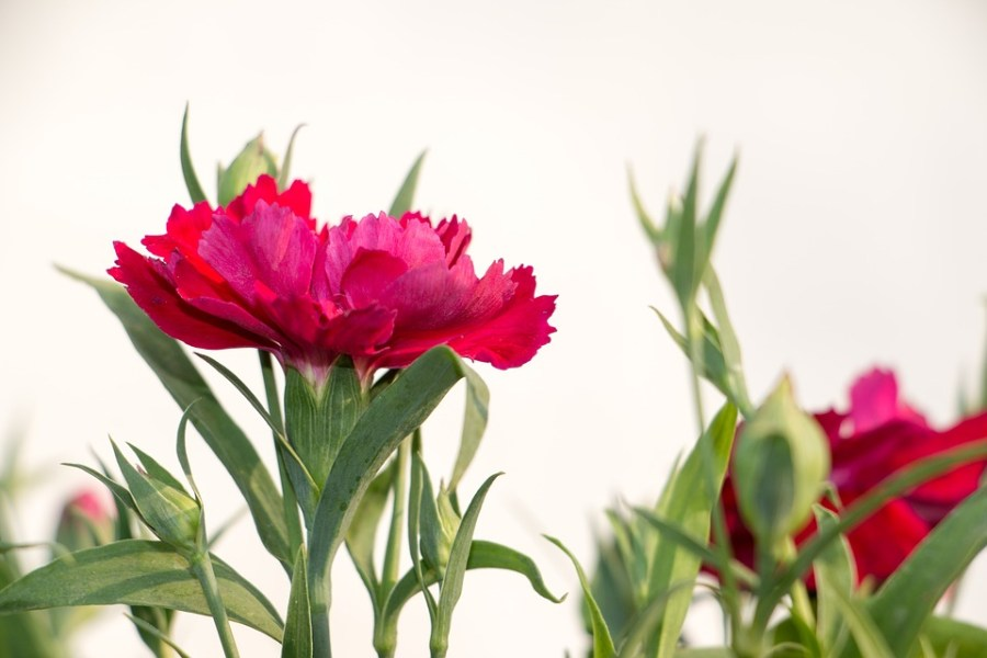 Flowers Winter Dianthus      Free photo on Pixabay flowers winter flowers dianthus pink