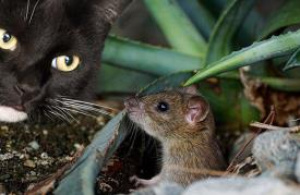 Cat, Mouse, Animal, Cute, Catch, Hunting
