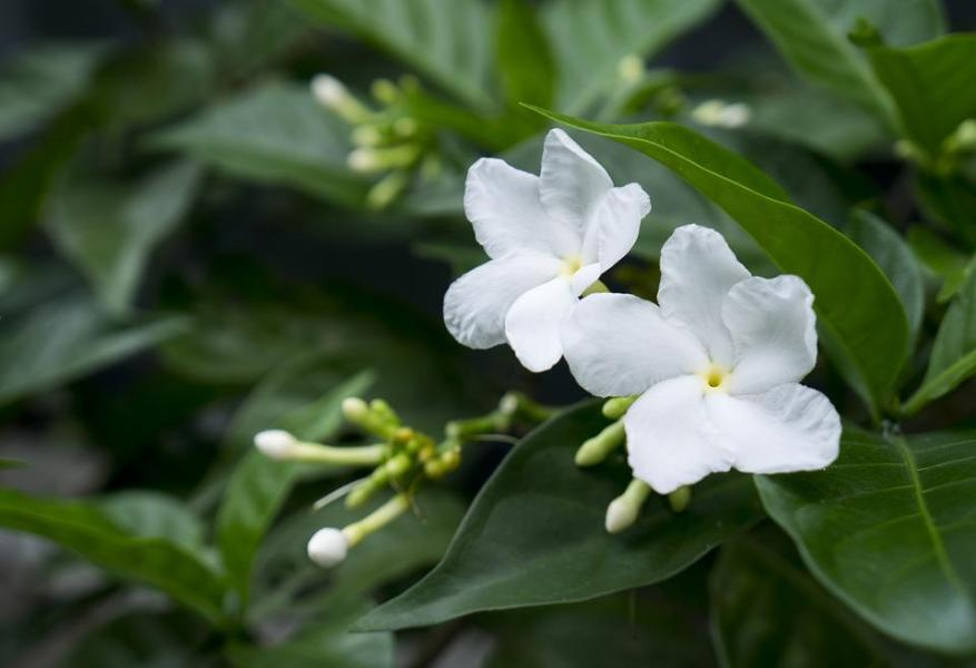 Jasmine Flower Images      Pixabay      Download Free Pictures Jasmine  White Flowers  Natural