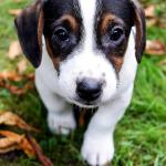 Puppy Dog Cute Small Free Photo On Pixabay