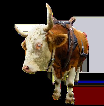 Animal, Cow, Ox, Beef, Isolated, Yoke
