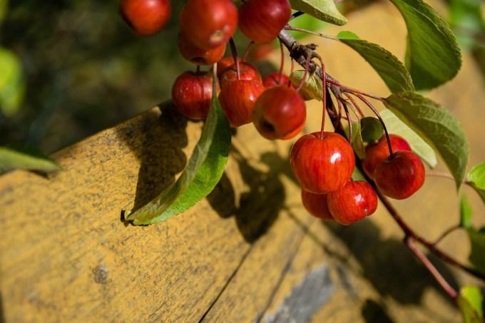マリュス, 装飾, 野生リンゴの木, 赤, アップル, 果物, 小, 装飾用の木, アップルの観賞用高木